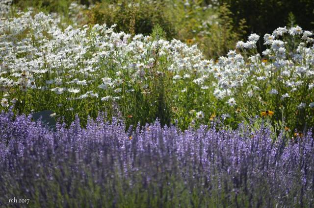 Lavender & Wildflower at Hood River Valley -sm 7-