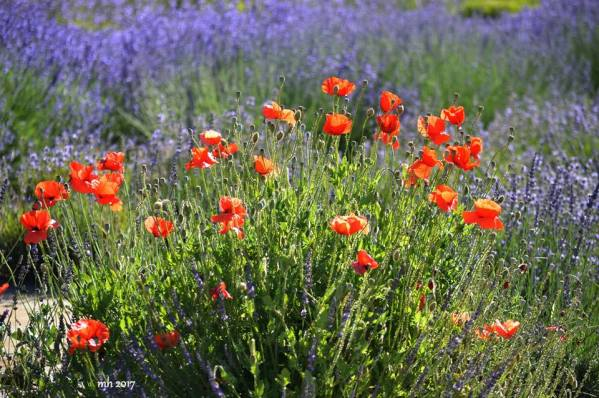 Lavender & Wildflower at Hood River Valley -sm 8-