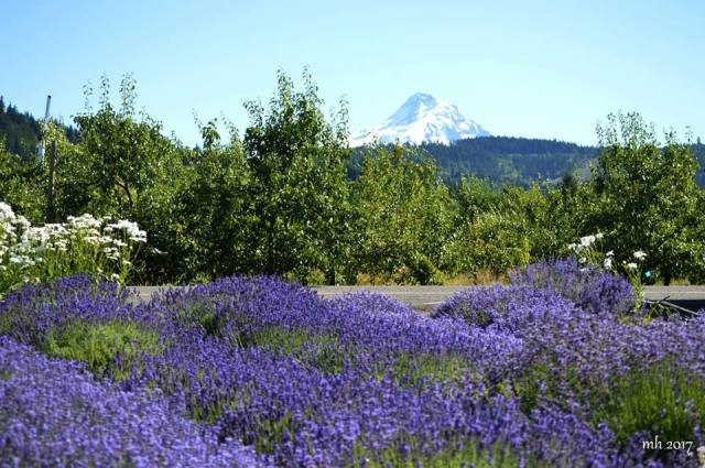 Lavender & Wildflower at Hood River Valley -sm3 -