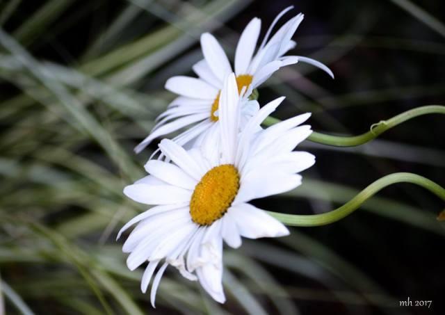 Shasta Daisy 2017 -s 5 -