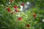 Yeu thuong Roses - sm
