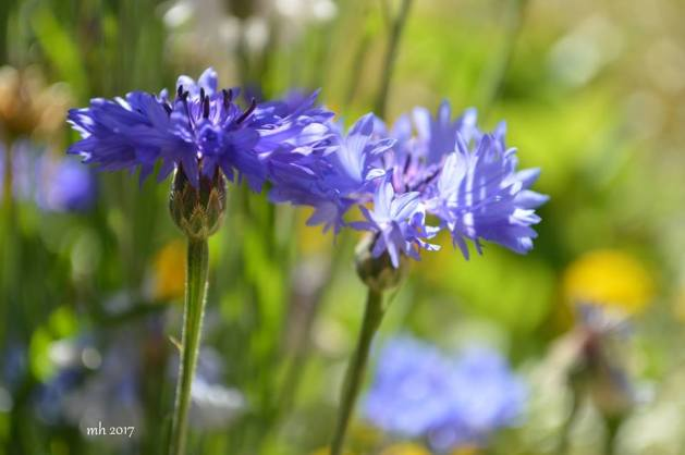 Batchelor's Buttonss - Cornflowers -sm 1 -