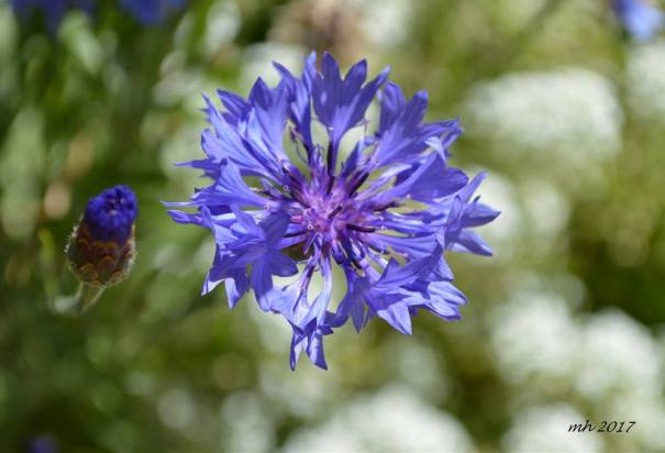 Batchelor's Buttonss - Cornflowers -sm -