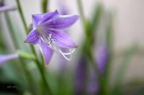 Hosta Lavender flower 2017 - 1sm -