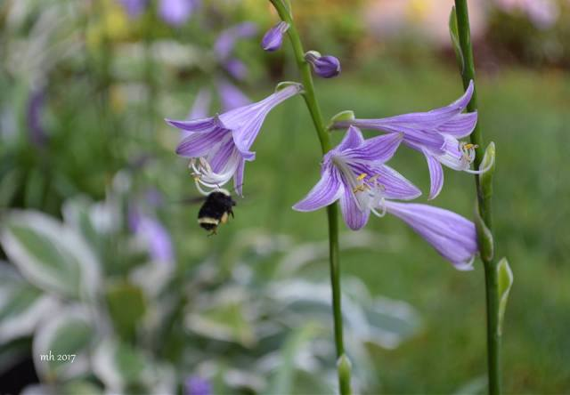 Hosta Lavender flower 2017 -sm 4 -