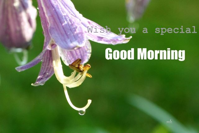 Hosta Lavender flower 2017 -sm -