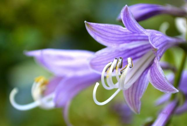 Lavender Hosta flowers (sm )