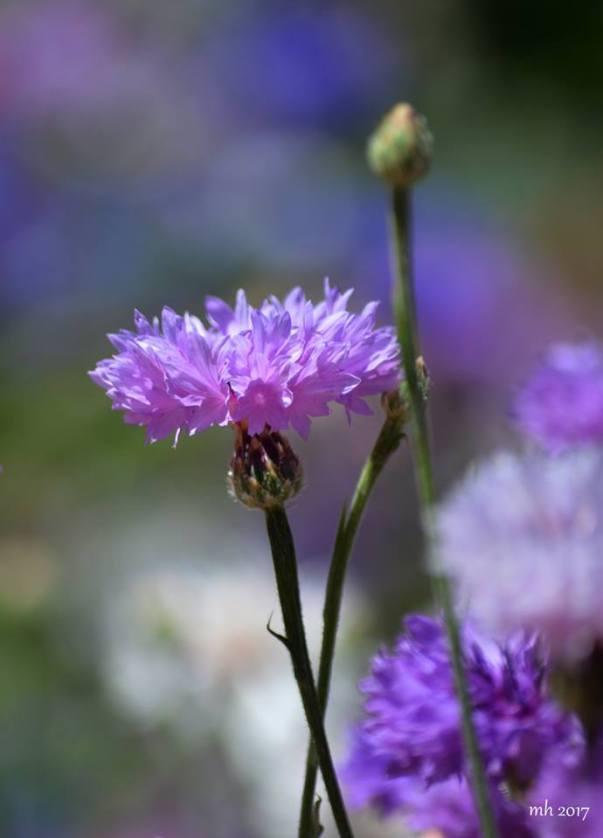 Wildflowers 2017 -sm 4 .-