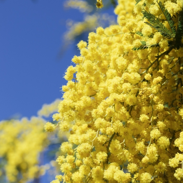 branch-of-mimosa-Meaning- Exquisite, Sensitivity