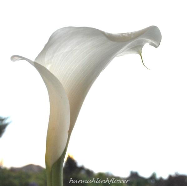 calla-lily-2013-231