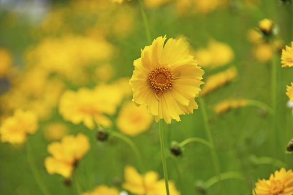 coreopsis-lanceolata-Meaning- Cheerful