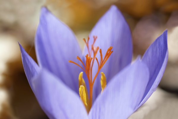 crocus-ligusticus-Meaning- Voluptuousness, Be cautious about excess pleasures