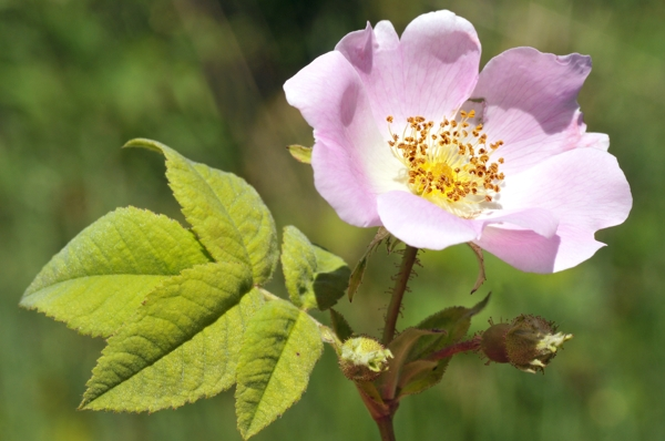dog-rose-flower-Meaning- Pleasure