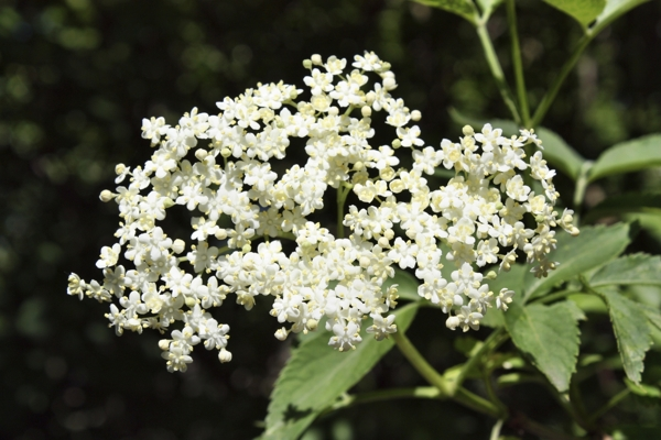 elderberry-flower-Meaning- Kindness, Humility