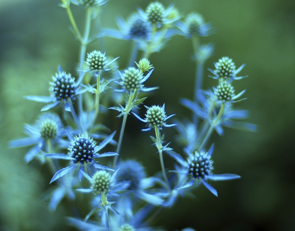 eryngium-Eryngium (Blue hobbit, Sea holly)-Meaning- Austerity, Independence