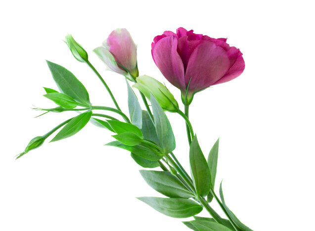Mauve eustoma flowers isolated on white background