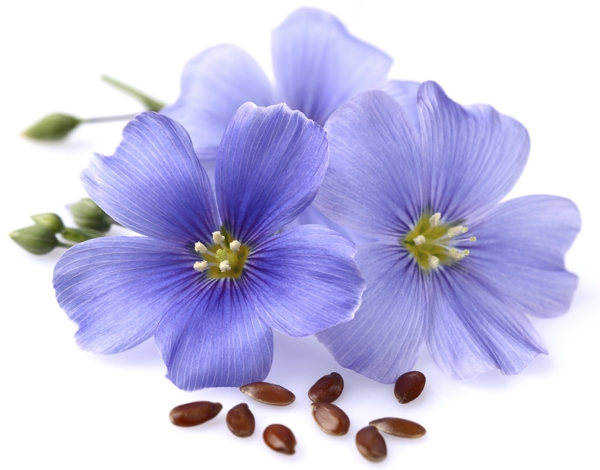 flax-flowers-linum usitatissimum-Meaning- Symbolizes domesticity and kindness