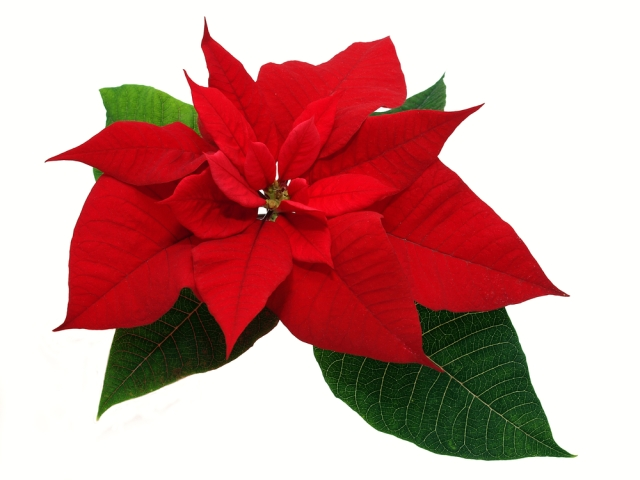 Flowers-poinsettia