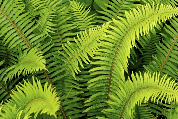 forest-ferns-Meaning- Sincerity, Confidence