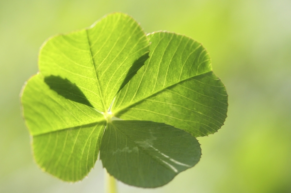 four-leaved-clover-Meaning- Good luck