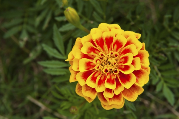 french-marigold-Meaning- Jealousy, Cruelty, Secret affection