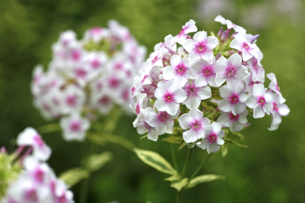 garden-phlox-Meaning- Sweet dreams, Trying to please you