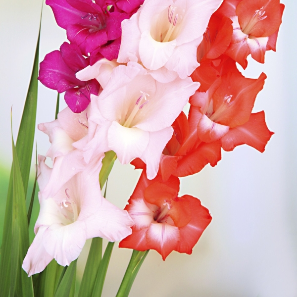 gladiolus-flower-Meaning- Give me a break, Strength of character