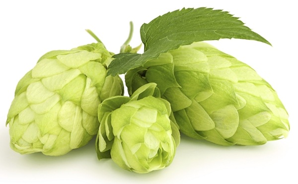 green-hops-leaf-Meaning- Injustice