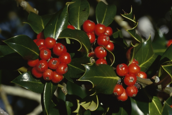 holly-plant-Meaning- Coming of joys