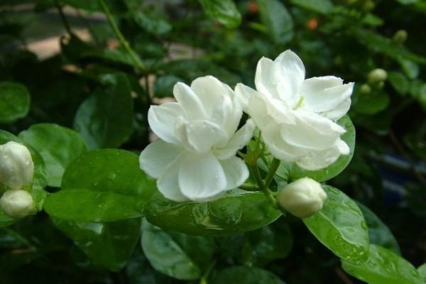 Jasmine(White)