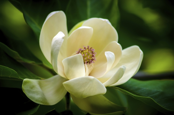 magnolia-tree-flower-Meaning- Nobility, Perseverance, Love for nature