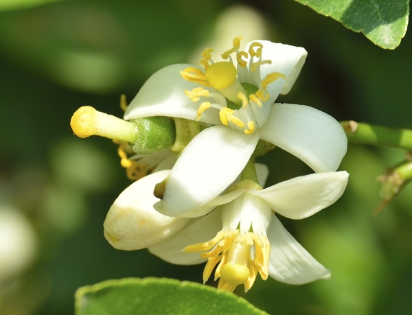 mexican-lime-flower-Meaning- Discretion