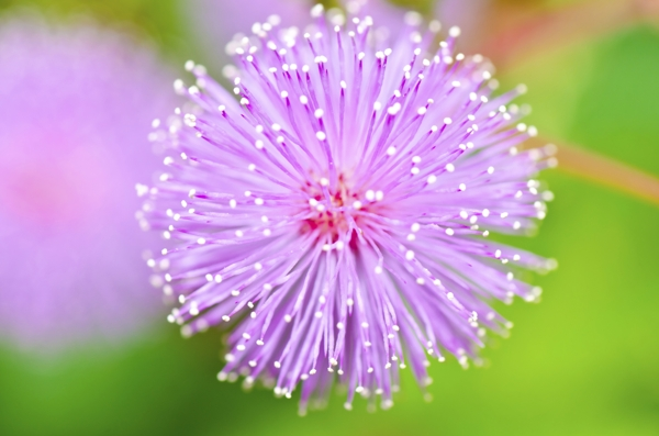 mimosa-pudica-meaning-sensitivity-hoa mac co