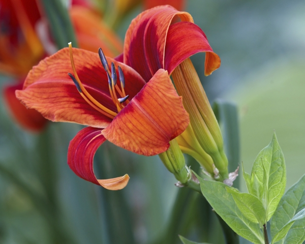 orange-day-lily-Meaning- Flirtation, Coquetry