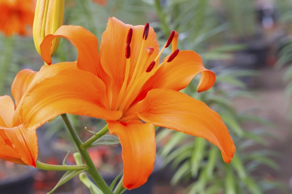 orange-lily-Meaning- Disdain, Hatred, Pride