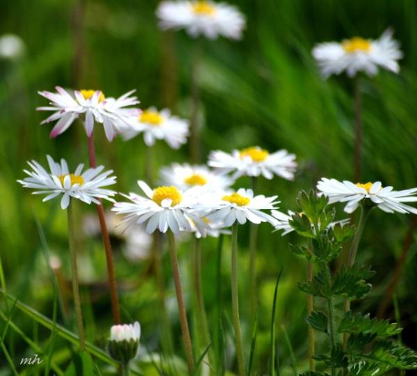Oxeye Daisy 2014 -1