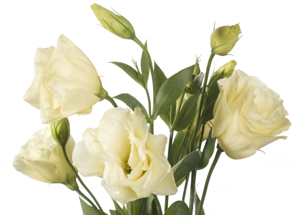 pale-lisianthus-flowers-Meaning- Calmness