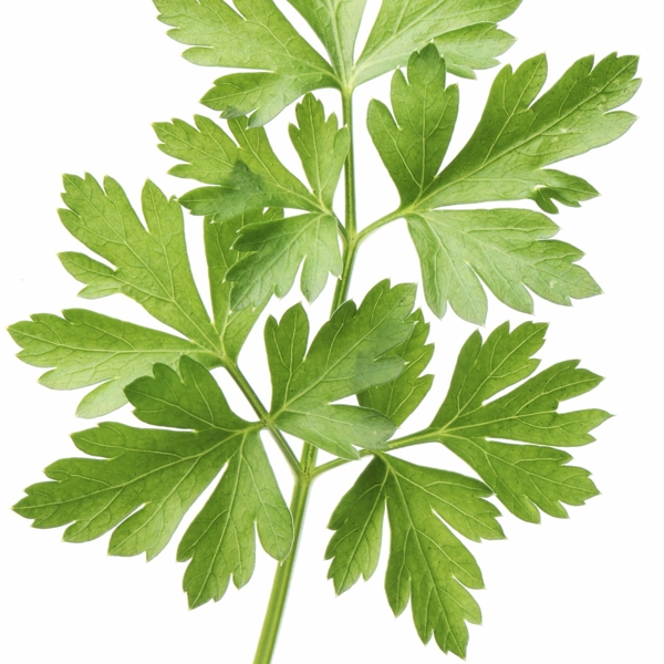 parsley-leaf-Meaning- Festivity