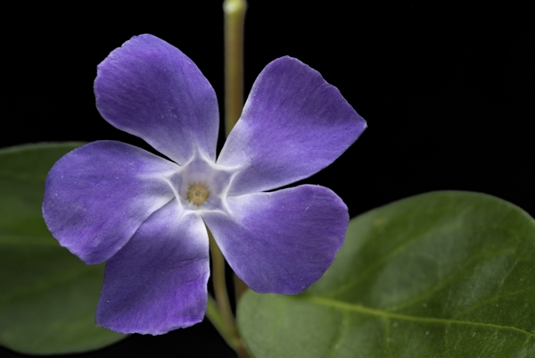 periwinkle-flower-Meaning- Beginning of friendship