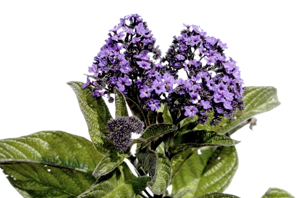 peruvian-heliotrope-Meaning- Eternal love