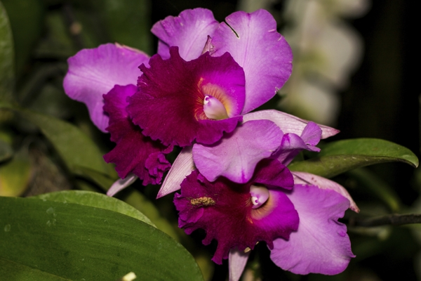 pink-cattleya-orchid-Meaning- Mature charm