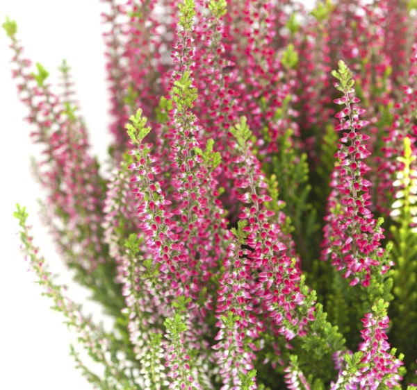 pink-heather-Meaning- Good luck