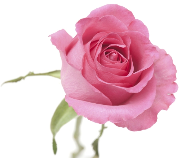 powder-pink-rose-Meaning- Gratitude, Thank you