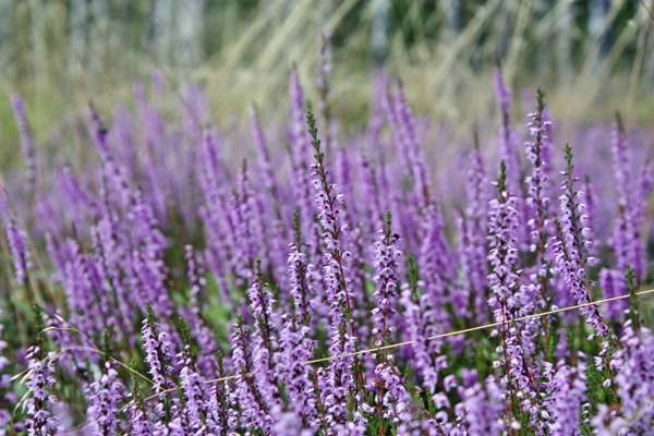 purple-heather-field-Meaning- Solitude, Admiration