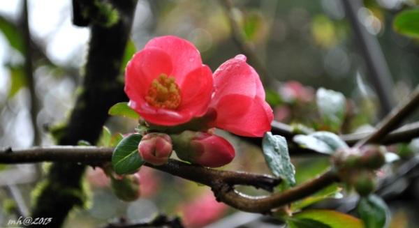 Quince Blossom 2013 - 1 -