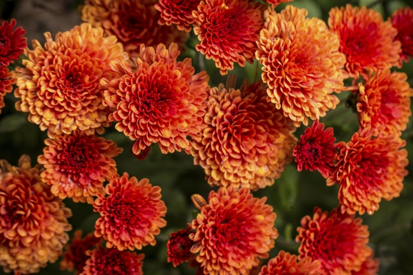 red-chrysanthemums-Meaning- Love, Affection
