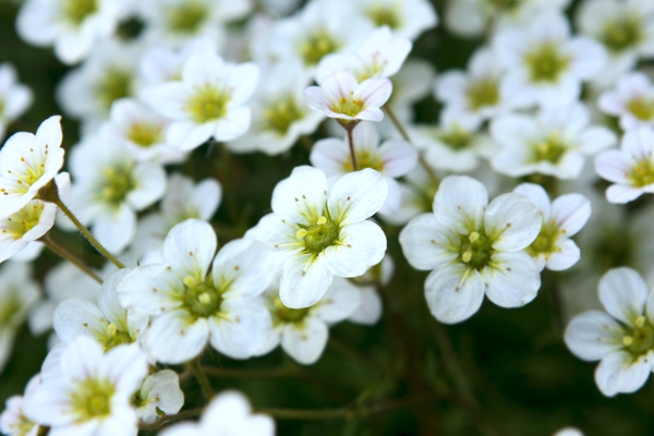 saxifrage-flowers-Meaning- Affection