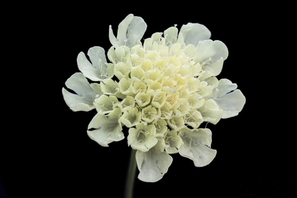 scabiosa-chroleuca-Meaning- Unfortunate love, Widowhood