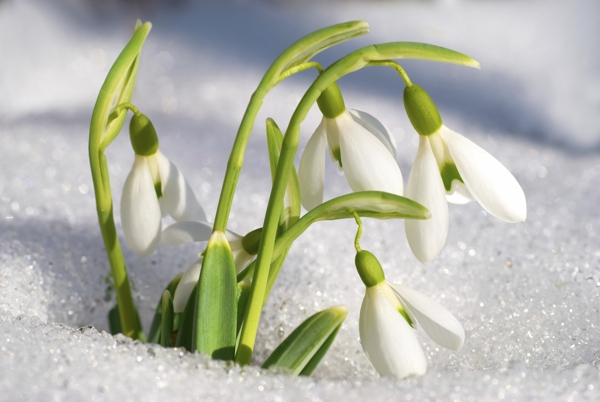 snowdrop-flowers-Meaning- Friendship in trouble, Consolation, Hope