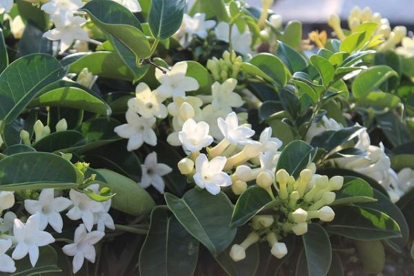 Stephanotis (Madagascar Jasmine)